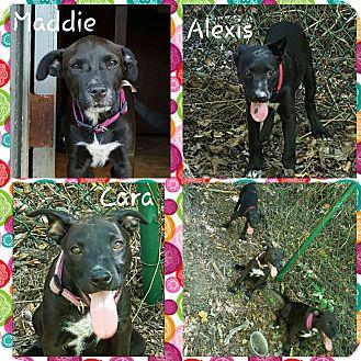 Labrador Retriever Mix Puppy for adoption in Gainesville, Georgia - alexis