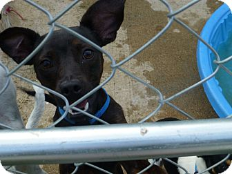 Manchester Terrier Mix Dog for adoption in Wyanet, Illinois - Happy