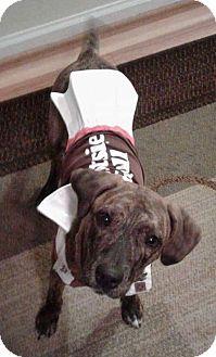 Hound (Unknown Type) Mix Puppy for adoption in Livonia, Michigan - D7 Litter-Tootsie-ADOPTION PENDING