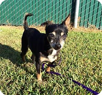 Chihuahua Mix Dog for adoption in Beaumont, Texas - Buster