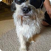 Standard Schnauzer Mix Dog for adoption in Dallas, Texas - Chester