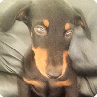 Doberman Pinscher Puppy for adoption in spring valley, California - Savannah