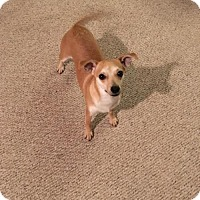 Adopt A Pet :: Cody, a sweet young female - Arlington, WA