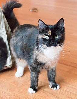 Calico Cat for adoption in Chicago, Illinois - Angel Kitty