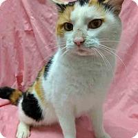 Adopt A Pet :: Kitty Purry - Gahanna, OH