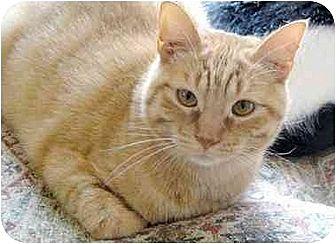 Domestic Shorthair Cat for adoption in Thibodaux, Louisiana - Bernard Fe1-7574