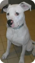 Boxer Mix Dog for adoption in Jackson, Michigan - Leonard