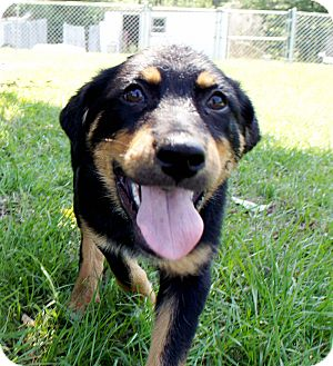 Kennedy | Adopted Puppy | 1818 | Savannah, GA | Australian ...Australian Shepherd Rottweiler Mix Information