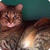 Domestic Shorthair Cat for adoption in Topeka, Kansas - Lily