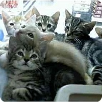 Adopt A Pet :: Adorable Kittens-various - Fort Lauderdale, FL