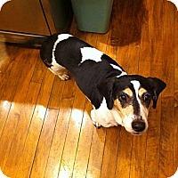 Adopt A Pet :: Lou Lou - Novi, MI