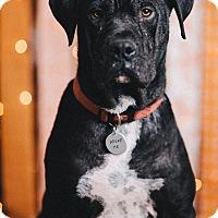 Adopt A Pet :: Seal - Portland, OR
