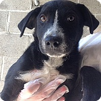 Adopt A Pet :: BORDER COLLIE PUPPY - Pompton lakes, NJ