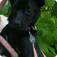Adopt A Pet :: Chip - Adoption Pending - Gig Harbor, WA