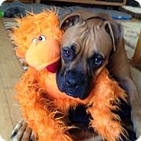 Adopt A Pet :: Rilee - Las Vegas, NV