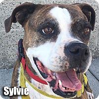 Adopt A Pet :: Sylvie - Encino, CA