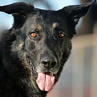 German Shepherd Dog Dog for adoption in San Diego, California - Max