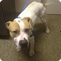 American Staffordshire Terrier Mix Dog for adoption in Lorain, Ohio - Fink