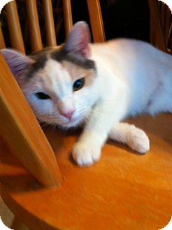 Calico Cat for adoption in Burbank, California - Mina