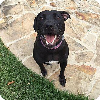 Labrador Retriever Mix Dog for adoption in Glen Cove, New York - Lola
