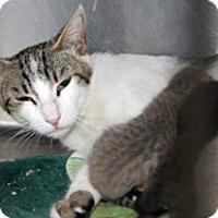 Domestic Shorthair Cat for adoption in Wildomar, California - Buffy