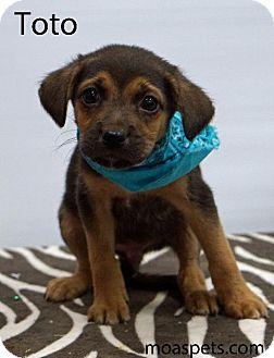 Shepherd (Unknown Type)/Labrador Retriever Mix Puppy for adoption in Waterbury, Connecticut - Toto