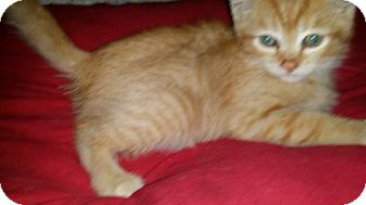 Domestic Shorthair Kitten for adoption in Vacaville, California - Autumn