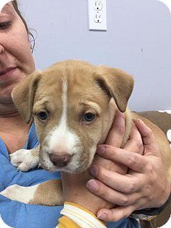 Labrador Retriever/Terrier (Unknown Type, Medium) Mix Puppy for adoption in Hawk Point, Missouri - Athena