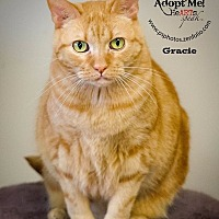 American Shorthair Cat for adoption in Belton, Missouri - O'Gracie