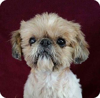 shih tzu rescue ohio mae belle montgomery adopted dog urbana oh shih tzu mix 2787