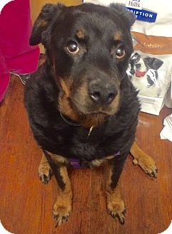 Rottweiler Dog for adoption in Oak Ridge, New Jersey - Asia- BIG MUSH!