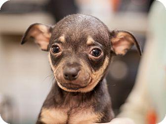 Miniature Pinscher Mix Puppy for adoption in Dallas, Texas - Goofy