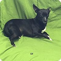 Adopt A Pet :: Elf - Hibbing, MN