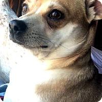 Adopt A Pet :: Lassie - Tijeras, NM