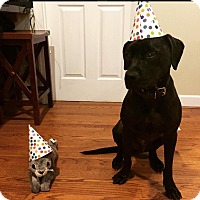 Adopt A Pet :: Thurston (COURTESY POST) - Baltimore, MD