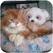 Domestic Longhair Cat for adoption in Anchorage, Alaska - Julius