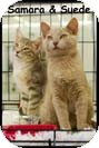 Domestic Shorthair Kitten for adoption in Merrifield, Virginia - Suede & Samara