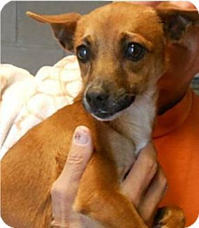 Chihuahua Mix Dog for adoption in Phoenix, Arizona - Nutmeg