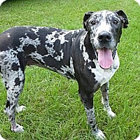 Adopt A Pet :: Confederate - Camden, SC