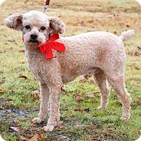 Adopt A Pet :: *Parker - PENDING - Westport, CT