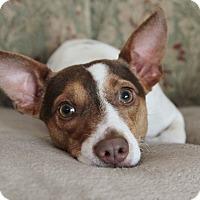 Adopt A Pet :: Weasley - I have a flaw! - Yorba Linda, CA