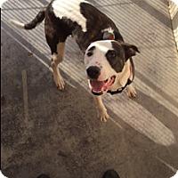 Adopt A Pet :: Bella - Barnwell, SC