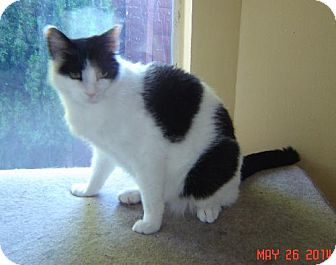 Domestic Shorthair Cat for adoption in Walnut Creek, California - Sandra