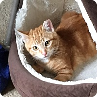 Domestic Shorthair Cat for adoption in Alamo, California - Gizmo