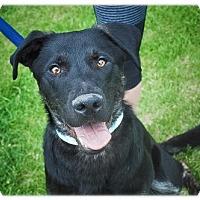 Labrador Retriever Mix Dog for adoption in Broomfield, Colorado - Port Aransas