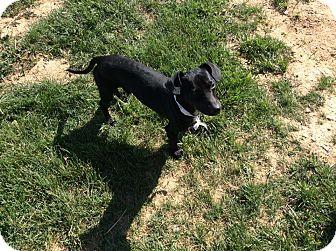 Dachshund Mix Dog for adoption in Mechanicsburg, Ohio - Schnitzel