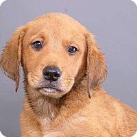 Adopt A Pet :: Yaz - Sudbury, MA