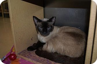 Siamese Cat for adoption in Capshaw, Alabama - Avery