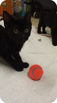 Domestic Shorthair Kitten for adoption in Holden, Missouri - Evening Star