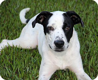 Pointer Mix Dog for adoption in Natchitoches, Louisiana - Soldier